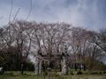 2015/03/29 都筑区の公園 お花見情報  中川八幡山公園